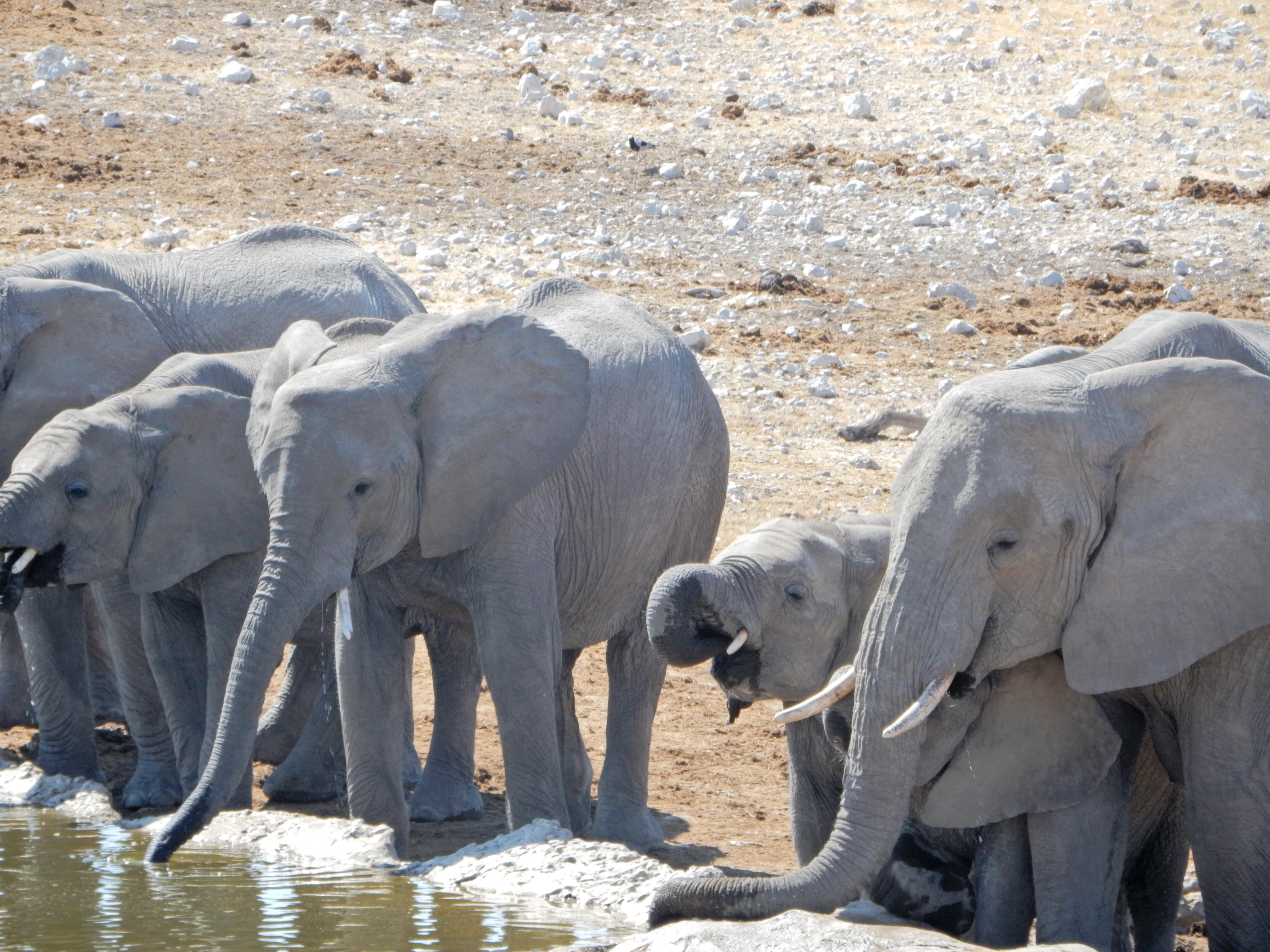 Elephants safari Namibie